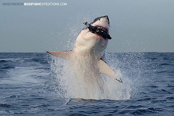 Breaching great white shark, False Bay, South Africa