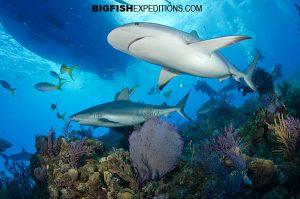 shark diving at Shark Tales near Tiger Beach, Bahamas