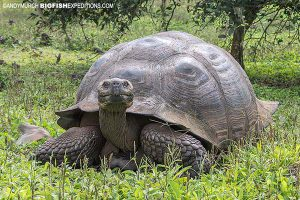 Giant tortoise in the Galapagos Islands