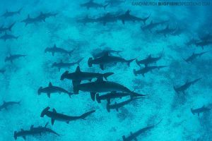 Great Hammerheads in the Galapagos Islands
