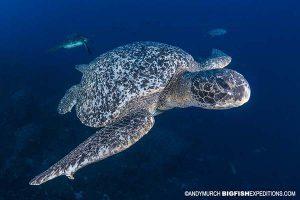 Green sea turtle in the Galapagos Islands