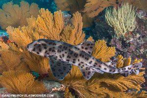 Galapagos horn shark in the Galapagos Islands