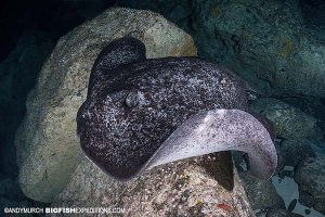 Marbled ray in the Galapagos Islands