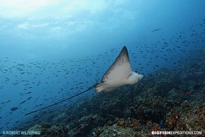 Spotted eagle ray in the Galapagos