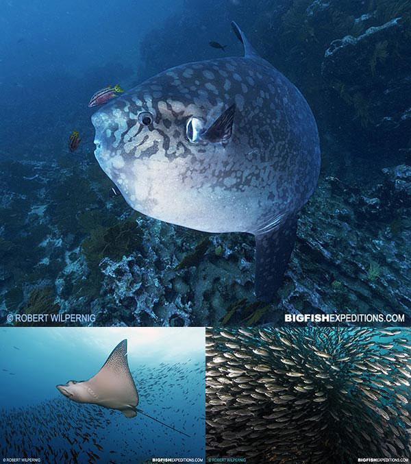 Mola mola in the Galapagos