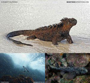 Galapagos diving marine iguana