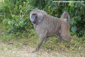 Olive Baboon Primate Safari