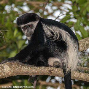 Guereza black and white colobus monkey primate safari