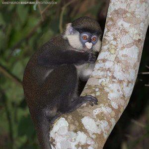 Redtail Monkey