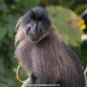 Grey Cheeked Mangebay primate safari