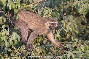 Vervet Monkey primate safari