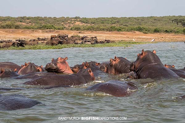 Hippos in the Kazinga Channel