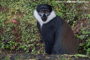 LHoests Monkey