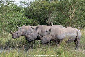 Rhino walk Uganda Safari