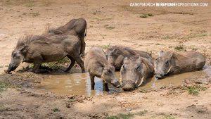 Warthogs taking a mud bath