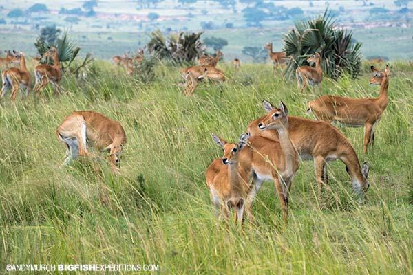 Uganda Cob Game Drive Primate Safari