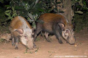 Bush Pigs Uganda Night Drive