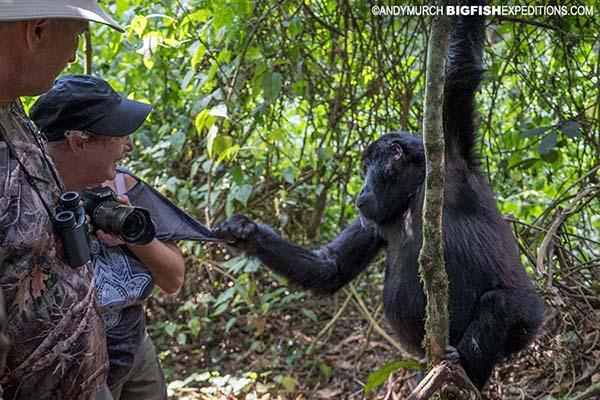 Mountain Gorilla touching a trekker
