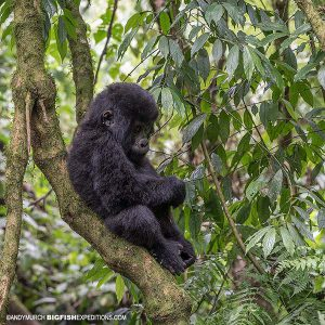 Mountain Gorilla Baby Trekking