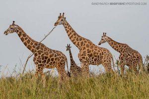 Giraffe Uganda Safari
