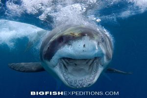 A white shark rushed the camera during a Guadalupe Island shark dive