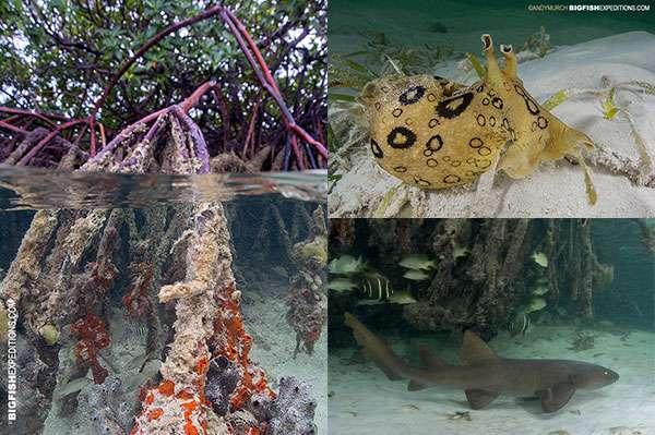 Bimini mangrove animals - spotted sea hare