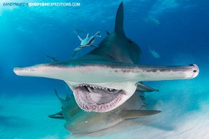 Hammerhead mouth open diving