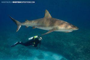 Caribbean reef shark with diver in Bimini, Bahamas