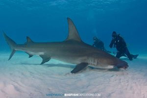 Divers with a great hammerhead