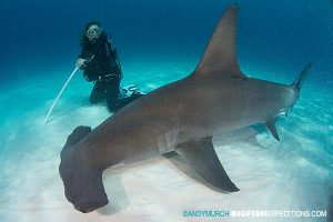 diver and great hammerhead