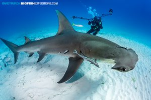 Great Hammerheads shark diving