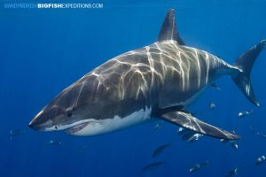 Great white diving
