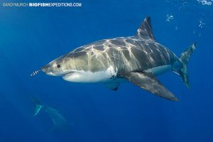 Diving with two great white sharks