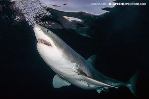 Great white shark diving at Guadalupe Island in Mexico