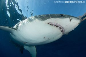 A very large great white shark