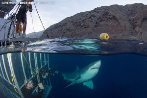 Great white shark, cage diving and a wrangler