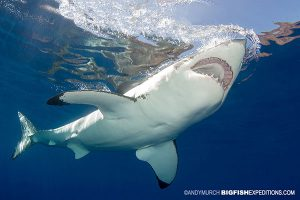 A large female great white shark diving at Guadalupe Island