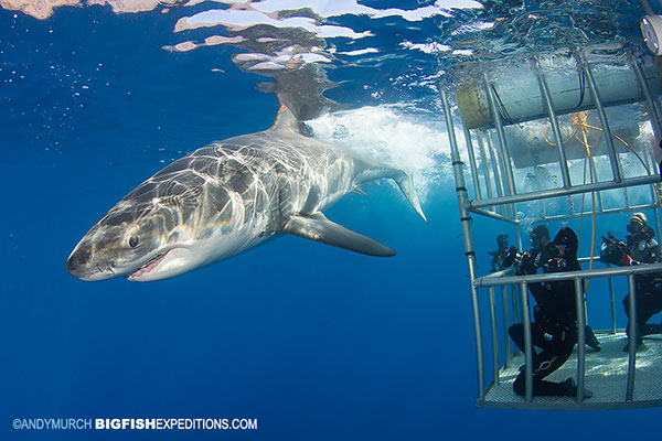 A big great white shark and cage diving