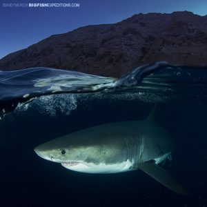 Great white shark diving at night