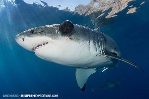 Great white shark named Mele