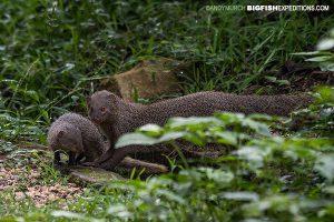Grey Mongooses Sri Lanka Safari