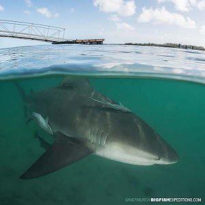Bull shark diving.