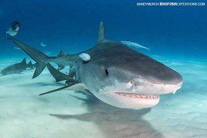 Tiger shark diving in Bimini