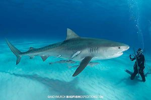 Great hammerheads and tiger sharks scuba diving.