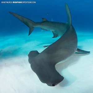 Diving with Great hammerheads in the Bahamas.