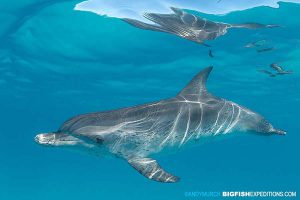 Atlantic spotted dolphin snorkelling.