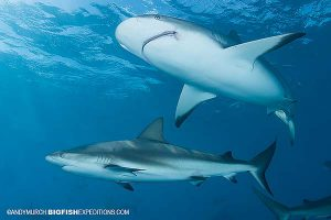Diving with Caribbean reef sharks.