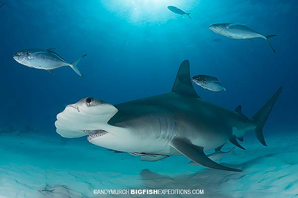 Great hammerhead diving in Bimini, Bahamas.