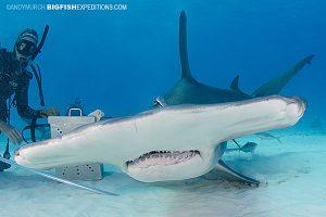 Shark feeder with a great hammerhead shark
