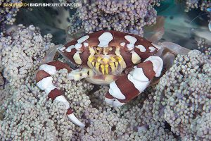 Harlequin swimming crab Malapascua